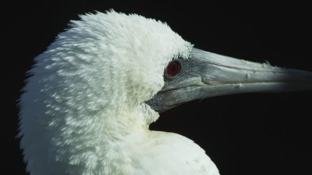 stockvideo's en b-roll-footage met cu peruvian booby looks around - zeevogel