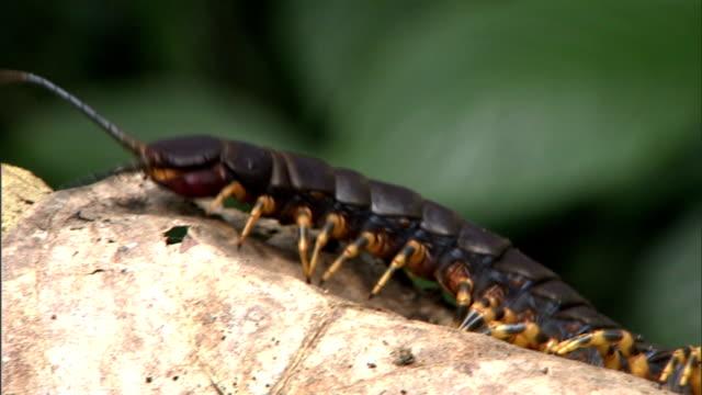 stockvideo's en b-roll-footage met a peruvian giant orange leg centipede crawls around a branch. - voelspriet