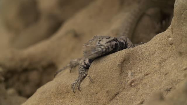 vidéos et rushes de peruvian lizard behavior - s'adapter