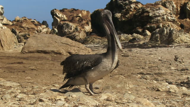 vídeos de stock e filmes b-roll de ms peruvian pelican standing on beach looking around then walking to camera - pelicano