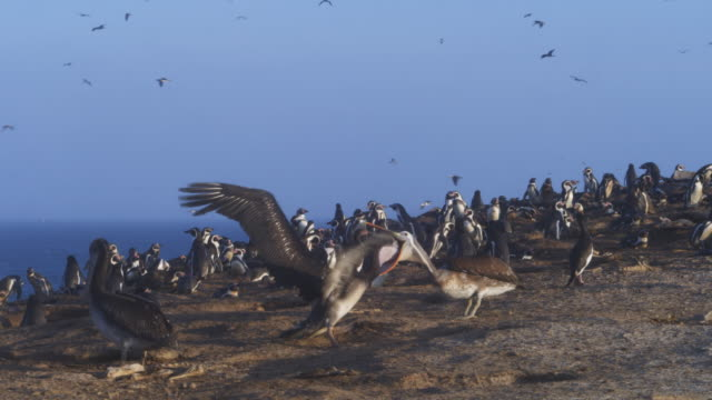 vídeos de stock, filmes e b-roll de ws peruvian pelican struggling to feed huge chick in colony - pelicano
