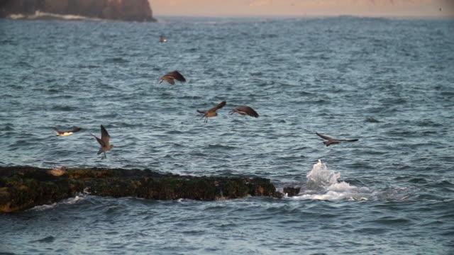 Peruvian seabirds fly over waves crashing on mossy rock