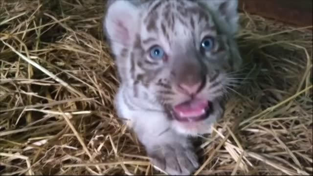 a peruvian zoo shows off its three newborn begal tiger cubs including a white one belonging to an endangered species announcing that it has launched... - zoology stock videos and b-roll footage
