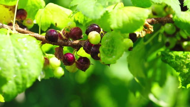 pest control spraying - currant stock videos & royalty-free footage