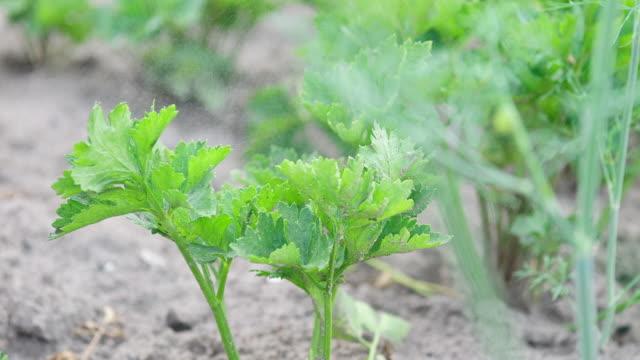 pest control spraying - celery stock videos & royalty-free footage