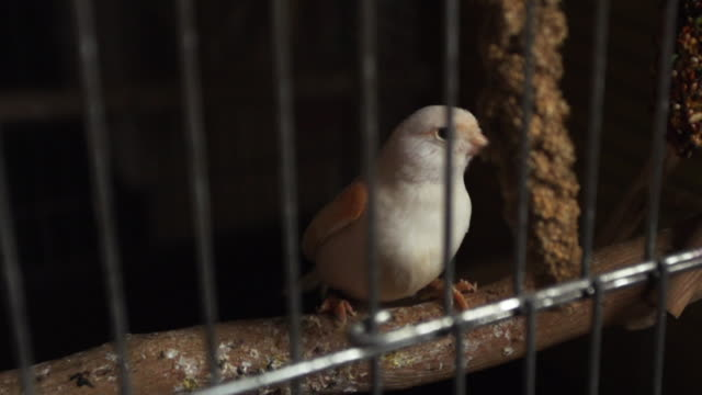 Pet bird in cage, slow motion