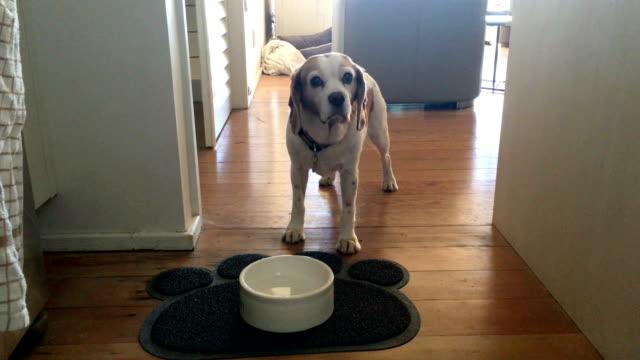 vídeos y material grabado en eventos de stock de mascotas perro mendigando comida - mendicación