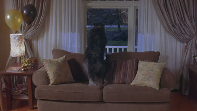 A pet dog looks out of the living room window and barks.