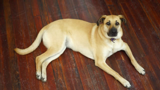 pet dog lying on laminate flooring in house - wooden floor stock videos & royalty-free footage