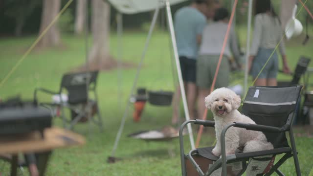 sällskapshund pudel på campingtält på morgonen sitter på campingstol medan familjen gör sig redo för frukost - knähund bildbanksvideor och videomaterial från bakom kulisserna