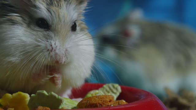 cu pet dwarf hamster grooms in bowl very close to camera with another in wheel - sich pflegen tierisches verhalten stock-videos und b-roll-filmmaterial