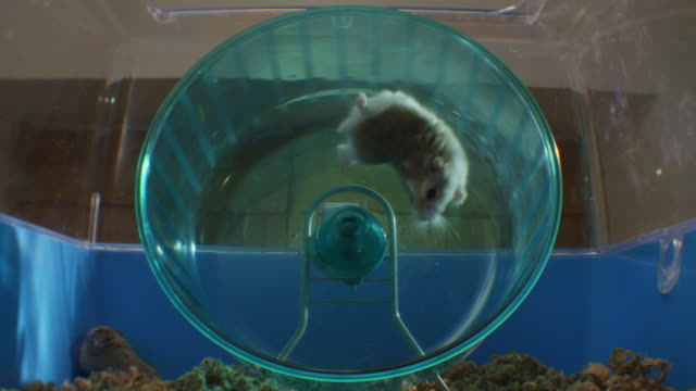 vídeos y material grabado en eventos de stock de slomo pet dwarf hamster running in wheel in cage and falling - caer