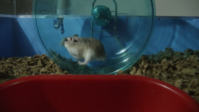 MS pet Dwarf Hamster running in wheel with empty food bowl in foreground