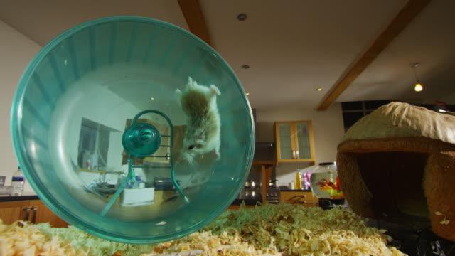 vídeos y material grabado en eventos de stock de pet dwarf hamster runs in wheel and falls from back in kitchen - hamster
