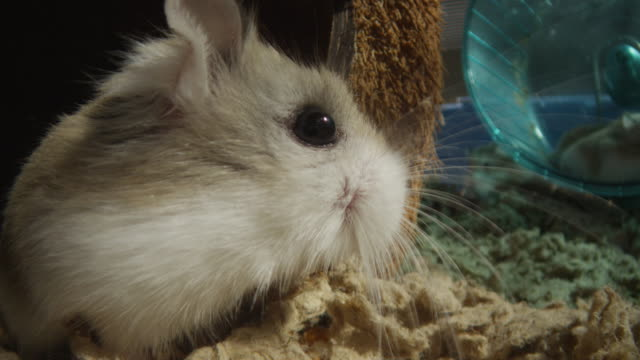 cu pet dwarf hamster very close to camera with others running in wheel - four animals stock videos & royalty-free footage