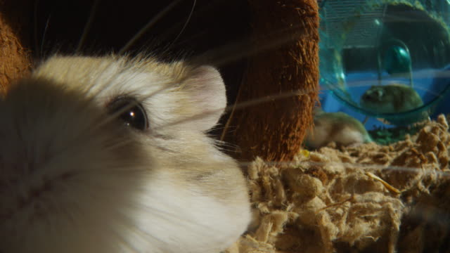 CU pet Dwarf Hamster very close to camera with others running in wheel