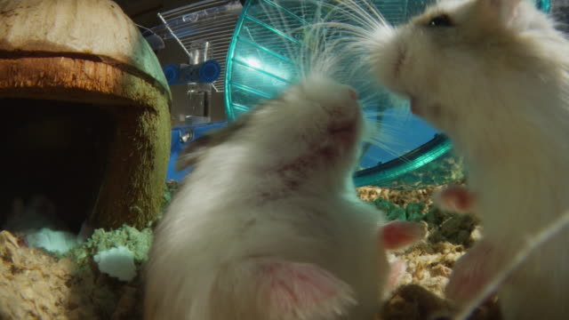 vidéos et rushes de 2 pet dwarf hamsters fight in cage very close to camera - se battre