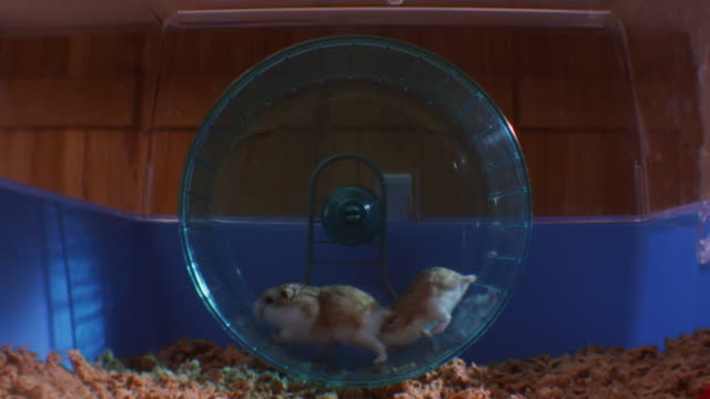 SLOMO 2 pet Dwarf Hamsters running and racing in wheel in cage with one under the other