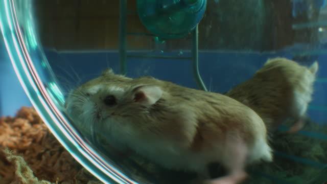 stockvideo's en b-roll-footage met slomo ms 3 pet dwarf hamsters running in wheel in cage very close to camera - kleine groep dieren