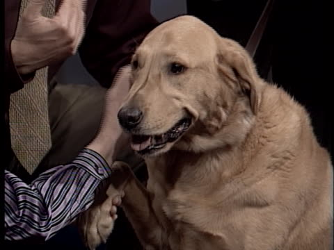 pet expert warren eckstein discusses how to help overweight pets lose weight gradually. - overweight dog stock videos & royalty-free footage
