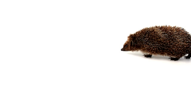 stockvideo's en b-roll-footage met pet hedgehog - nieuwsgierigheid