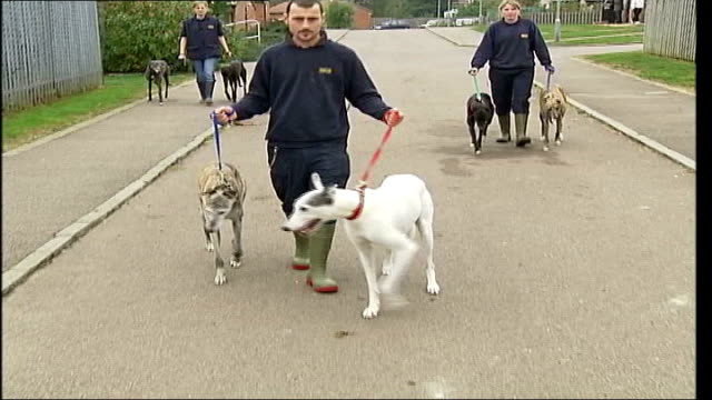 pet kidnapping on increase: lionel blair targetted; tx 3.10.2004 hertfordshire: south mimms: ext animal sanctuary worker leading two greyhounds along - lionel blair stock videos & royalty-free footage
