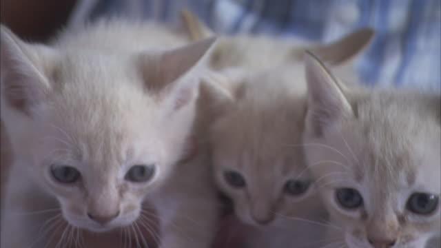 vídeos y material grabado en eventos de stock de a pet owner holds her cute australian mist kittens. - vibrisas