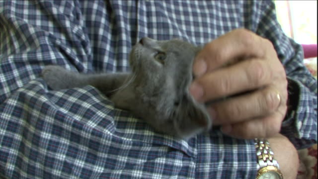 a pet owner lovingly strokes his chartreux kitten. - stroking stock videos & royalty-free footage