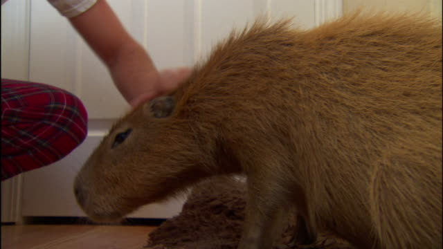 a pet owner scratches a capybara's fur. - stroking stock videos & royalty-free footage