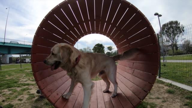 ペットの所有者は、彼女の犬の障害物コースを訓練します。 - 障害物コース点の映像素材/bロール