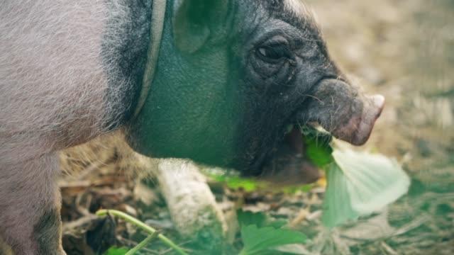 haustierschwein - jungtier stock-videos und b-roll-filmmaterial