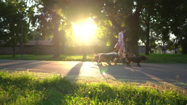 vídeos de stock, filmes e b-roll de babá de animais andando de patins e cães ambulantes em parque público durante o pôr do sol - parque público