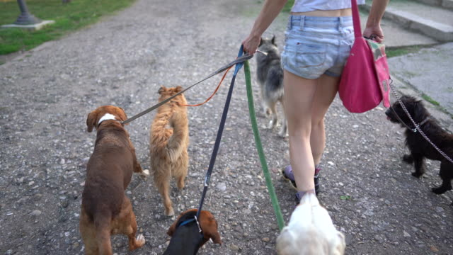 pet sitter riding roller skates and walking medium group of mixed-breed dogs at public park - side hustle stock videos & royalty-free footage