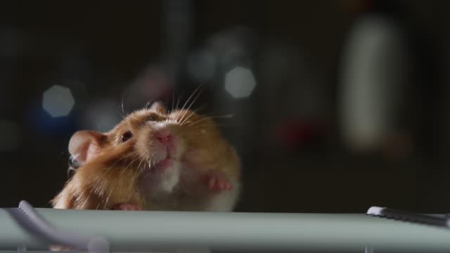 vídeos y material grabado en eventos de stock de ms pet syrian hamster climbs onto top of cage - hamster