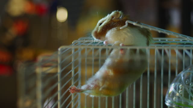 ms pet syrian hamster climbs through cage door and onto top of cage in bedroom - cute stock videos & royalty-free footage