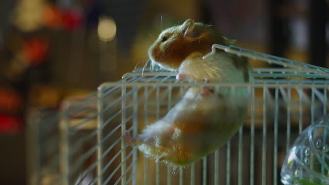 vídeos y material grabado en eventos de stock de ms pet syrian hamster climbs through cage door and onto top of cage in bedroom - vibrisas