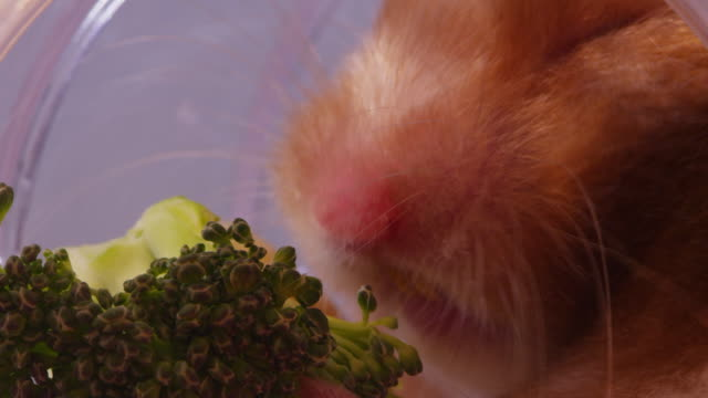 ecu pet syrian hamster eats broccoli in tube - ブロッコリー点の映像素材/bロール