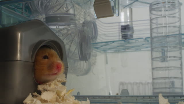cu pet syrian hamster emerges from nest box and looks around - finding stock videos and b-roll footage