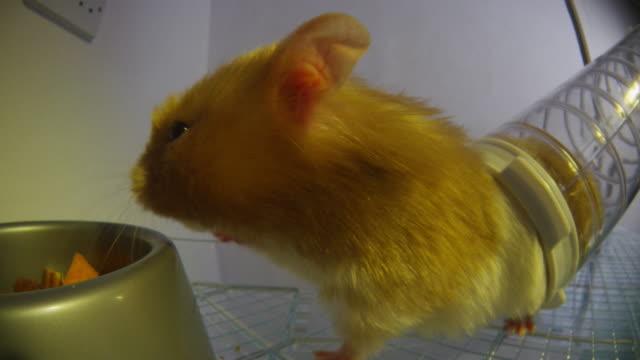 vídeos y material grabado en eventos de stock de cu pet syrian hamster takes carrot from food bowl very close to camera - vibrisas