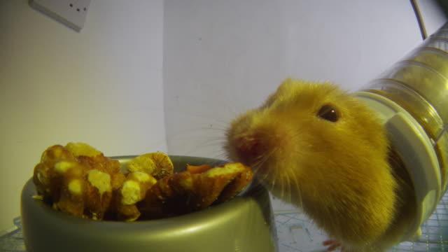 cu pet syrian hamster takes walnuts from food bowl very close to camera - morrhår bildbanksvideor och videomaterial från bakom kulisserna