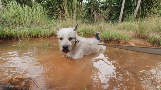 pet terrier dog sitting in muddy puddle on rainy day - mud stock videos & royalty-free footage
