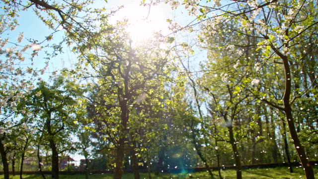 stockvideo's en b-roll-footage met slo mo petals falling off the blooming tree - bloemblaadje