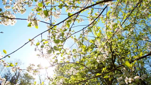 slo mo ペタルズ落ちる、チェリーツリー - 四月点の映像素材/bロール