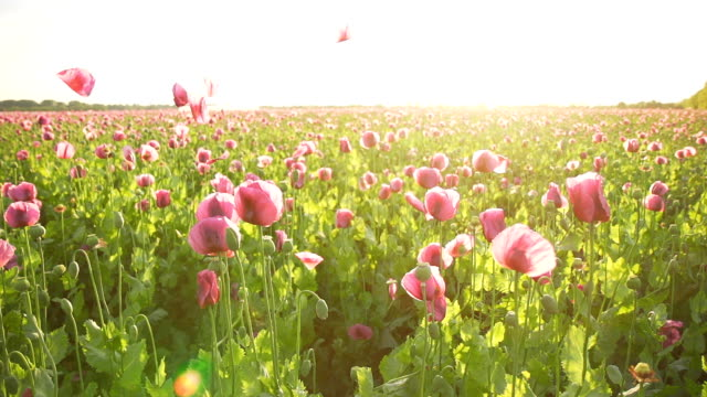 HD SUPER SLOW MO: Petals Falling Over Poppies