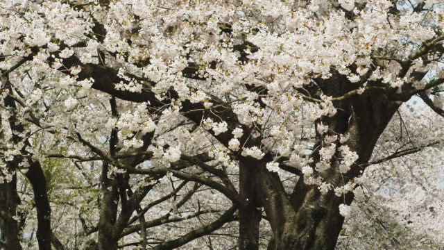 petals of cherry blossom flying with breeze - 舞う点の映像素材/bロール
