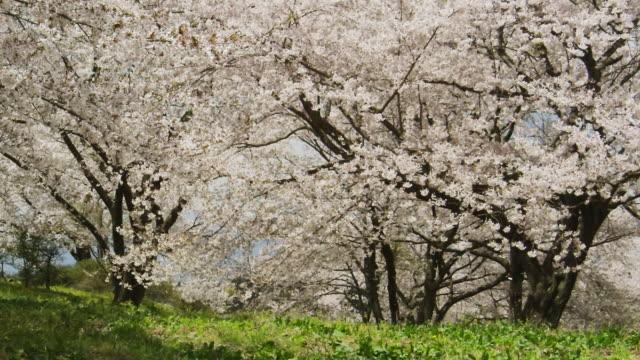 vídeos de stock e filmes b-roll de petals of cherry blossom flying with breeze - flor de cerejeira