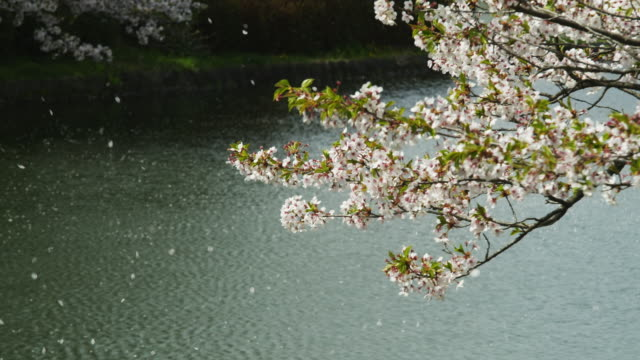 Petals of Cherry Blossom flying with breeze