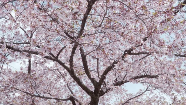 petals of cherry blossoms falling by wind - cherry blossom stock videos & royalty-free footage