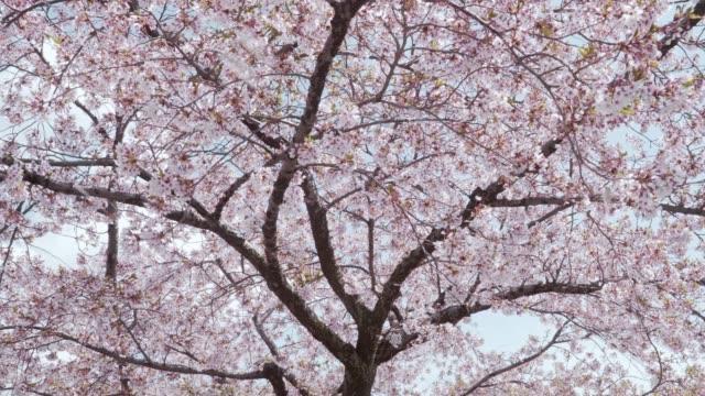 風によって降る桜の花びら - ピンク色点の映像素材/bロール