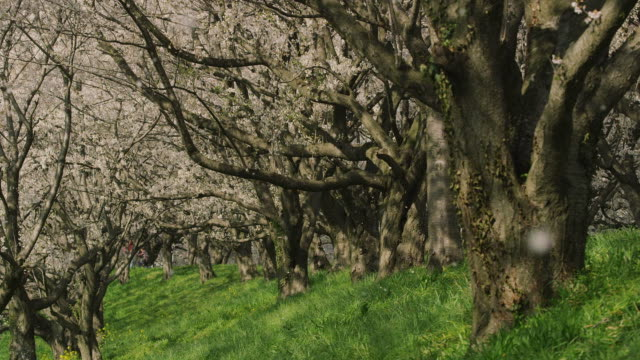 stockvideo's en b-roll-footage met petals of cherry blossoms flying with breeze - bloemblaadje